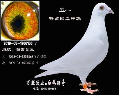 玉一(白雪公主)白鸽