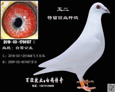 玉二(白雪公主)白鸽