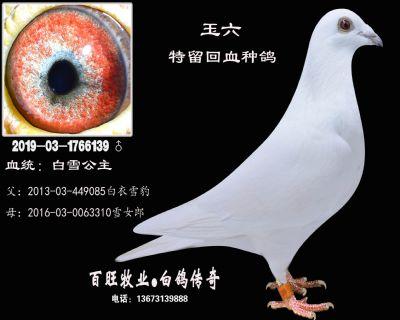 玉六(白雪公主)白鸽