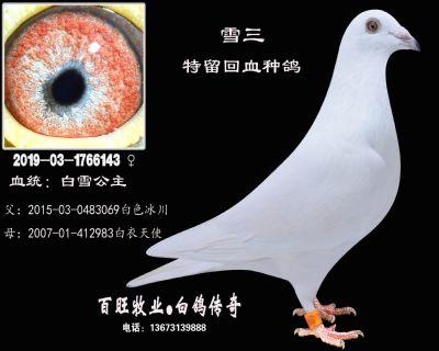 雪三(白雪公主)白鸽