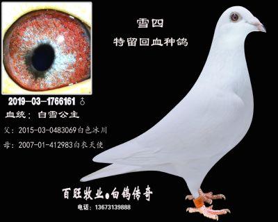 雪四(白雪公主)白鸽