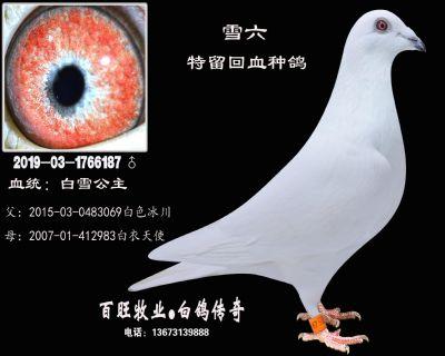 雪六(白雪公主)白鸽