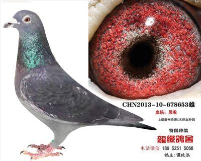 吴淞种鸽42