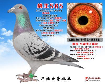 浩添鸽王565