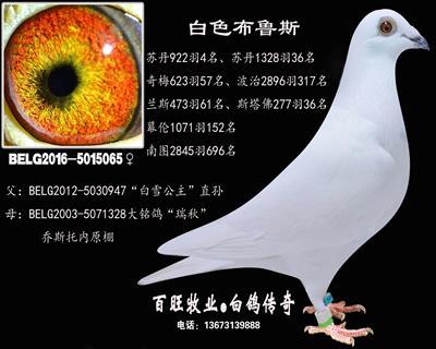 白色布鲁斯(白雪公主)白鸽