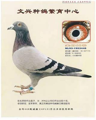 文兴种鸽-金母48号
