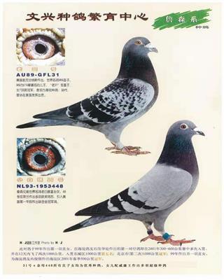 文兴种鸽-老31号