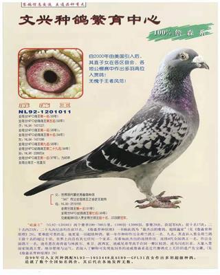 文兴种鸽-詹森系威廉王