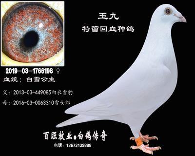 玉九(白雪公主)白鸽