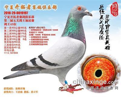 鸽王冠军配波西瓦