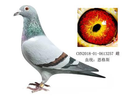 恩格斯近亲金环种鸽