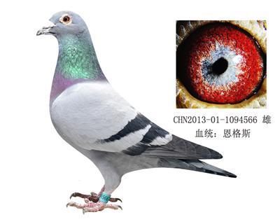 恩格斯178近亲回血种鸽