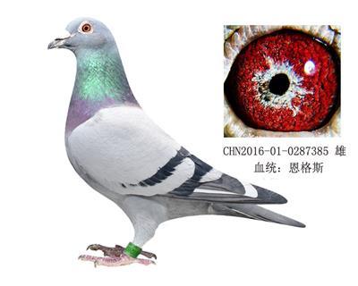 恩格斯178近亲种鸽