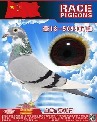 纯血慕利门967