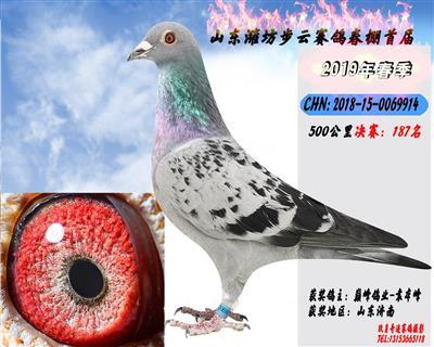 潍坊步云春棚决赛获奖鸽