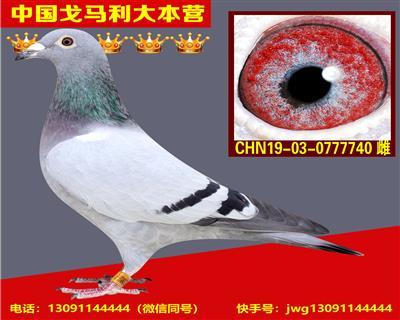 戈马利原环种鸽直接作育特留幼种鸽