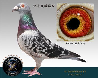 14-01-009289 斑 黄 雌