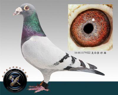 14-01-1179522 灰白条 砂 雄(成绩鸽)