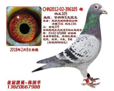 金冠鸽王105
