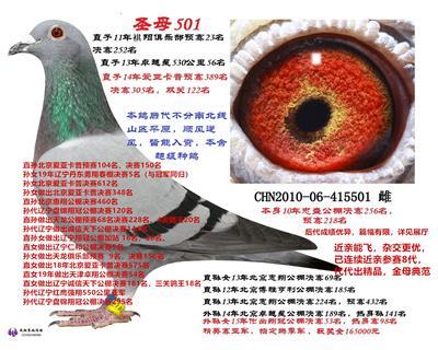 超级种鸽501