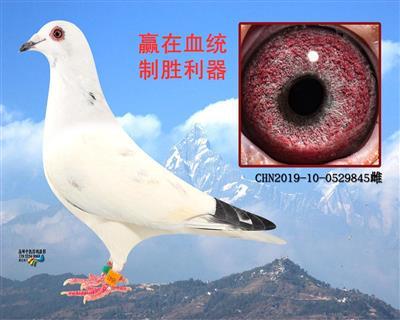 苍白基础种鸽(转让)