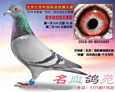 双关鸽王季军超级种雌