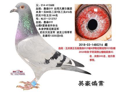 五关鸽王詹森019X原环詹森019