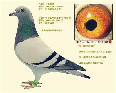 东方不败 闪电娇娃特留种鸽