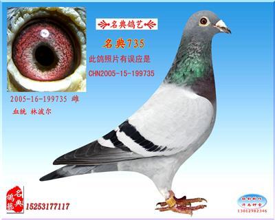 名典鸽艺种母735