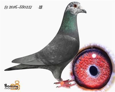 瑞威227(李巴克*波拉)