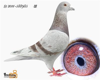 瑞威985(詹森*戈登)