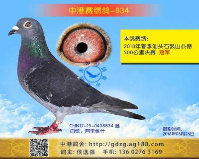 中港赛绩鸽-834
