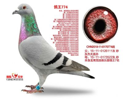 鸽王774