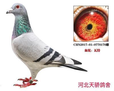 瓦特白羽号【灰鸽王】