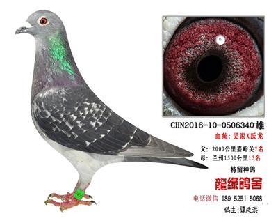 超远程老国血吴淞跃龙种鸽2