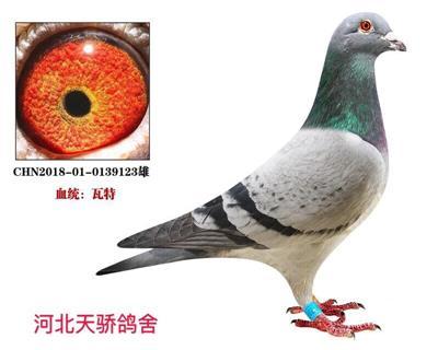 瓦特-将军号【灰鸽王】
