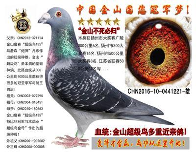 """金山詹森""""超级鸟""""实战种鸽!"""