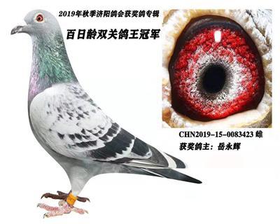 百日龄  双关鸽王冠军
