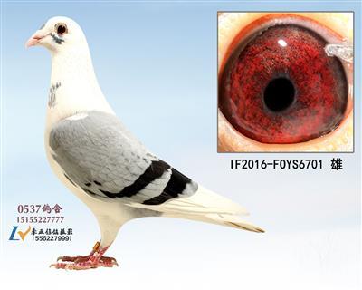超级种鸽6701