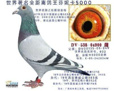 超极金母德国鸽王x芬卡5000子代22名