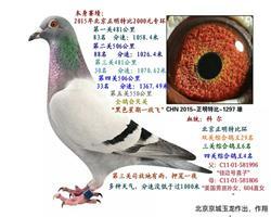 父亲北京正明四关鸽王