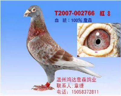 100%范德佛拉斯红狐(非卖品)