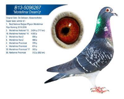 比利时蒙特利玛全国最佳鸽冠军