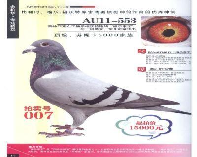 芬妮卡5000子代优秀种鸽