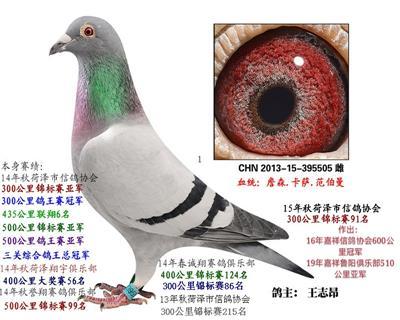 三关综合鸽王总冠军
