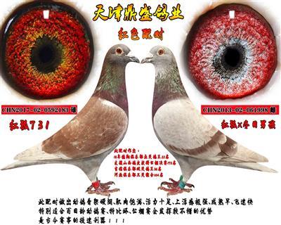 天津鼎盛鸽业