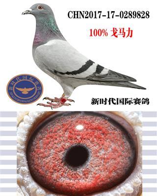 """戈马力""""江茂赛鸽公棚决赛163名""""之母"""