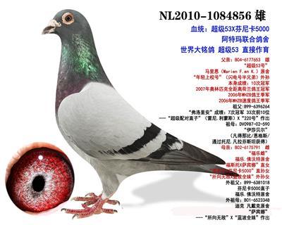 世界铭鸽 超级53直子