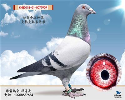 回血金环种鸽