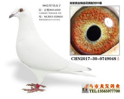 2019年阜康四关鸽王总冠军之父